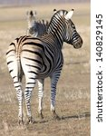 The Adult Zebra Turned The Bac...