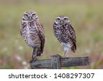 Stock photo couple of burrowing owls staring at camera florida 1408297307