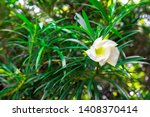 Stock photo cascabela thevetia white oleander lucky nut lucky bean trumpet flower thevetia peruviana pers 1408370414