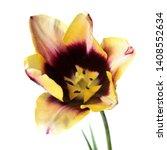 dark burgundy and pale yellow...   Shutterstock . vector #1408552634