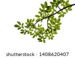 green tree branch isolated on... | Shutterstock . vector #1408620407