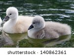 Young Swans With Parents On Th...