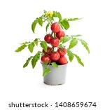 Fresh  Home Grown Tomato Plant...