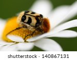Close Up Od Trichius Rosaceus ...