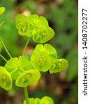 Small photo of flowers of cypress spurge, Euphorbia cyparissias