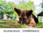 cute puppy of german sheperd...   Shutterstock . vector #1408846631