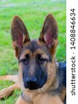 cute puppy of german sheperd...   Shutterstock . vector #1408846634