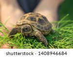 Stock photo the central asian tortoise also known as the asian brown tortoise sits on a horsetail stalk in 1408946684