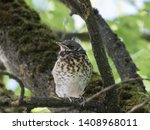 a disheveled thrush chick sits...   Shutterstock . vector #1408968011