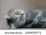 Stock photo british funny kitten 140905471