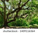 Florida Weeping Willow Spanish...
