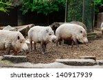 Bearded Pigs In A Pen