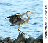 Grey Heron Landing On Rocky...