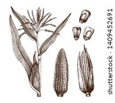 Hand Drawn Corn Illustration....