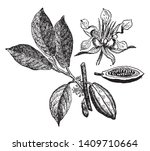 cacao is an edible plant. it... | Shutterstock .eps vector #1409710664
