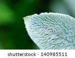 Lanate Lamb\'s Ear Leaf Close Up