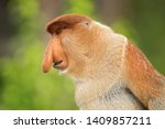 Small photo of Proboscis monkey (Nasalis larvatus) or long-nosed monkey, known as the bekantan in Indonesia, is a reddish-brown arboreal Old World monkey with an unusually large nose. It is endemic to Borneo