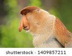 Proboscis Monkey  Nasalis...