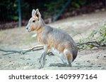 Dolichotis Patagonum Exotic Hare Sitting on Ground