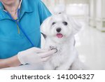 Stock photo veterinarian woman in blue medical uniform examines with stethoscope small cute white maltese puppy 141004327