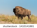A male bison  bison bison  at...