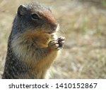 Ground Squirrel   Portrait And...