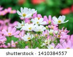 White And Pink Cosmos Flowers...