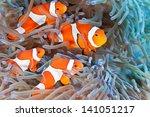 Shoal Of Clownfish