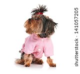 dressed yorkshire terrier  3... | Shutterstock . vector #141057205