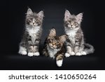 Three Maine Coon kittens sitting / laying down beside each other in a perfect row. Looking at camera with brown eyes. Isolated on a black background.