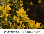 Bright Yellow Gorse Flowers And ...