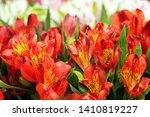 Alstroemeria Flower Red....