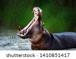 Small photo of Angry hippopotamus / hippo displaying dominance in the water with a wide open mouth. Hippopotamus amphibius