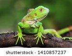 Green Iguana Closeupon Branch ...