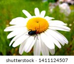 White Blooming Chamomile Over...