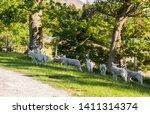 Young Lambs Enjoying The Late...