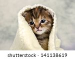 Stock photo kitten closed in towel warm sleepy small white 141138619