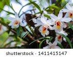 Dendrobium fuerstenbergianum...