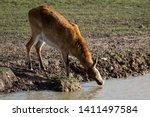 A Kafue Flats Lechwe Antelope...