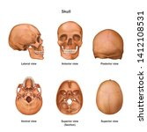 Human Skull. Lateral  Anterior  ...