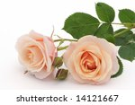 Peach Rose On White Background
