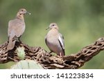 Small photo of White winged Dove