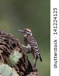 Small photo of Male Ladder-backed Woodpecker