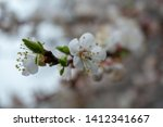 white apricot blossom. blooming ... | Shutterstock . vector #1412341667