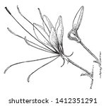 cleome spinosa commonly known... | Shutterstock .eps vector #1412351291