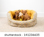 Stock photo two very young dachshund and hound mix puppies playing in bed 141236635