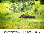 Moose Relaxing By Summer Yello...