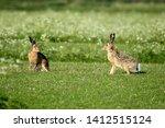 Stock photo hares on schiermonnikoog the netherlands 1412515124