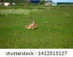 Stock photo hares on schiermonnikoog the netherlands 1412515127