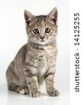 Stock photo perfect little kitten looking directly into the camera 14125255